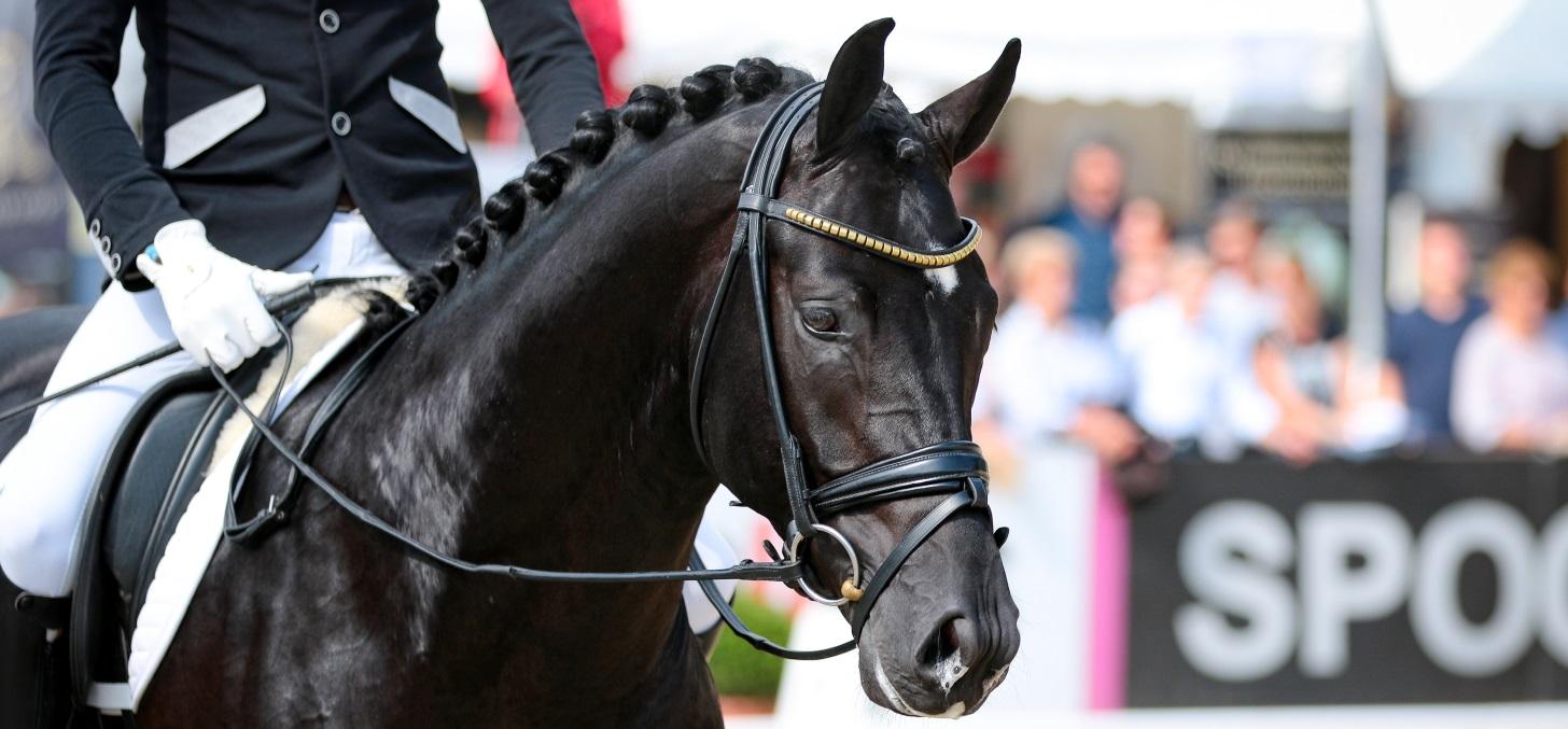 Dressurpferd-schwarz-1456-x-677-AdobeStock_174684287