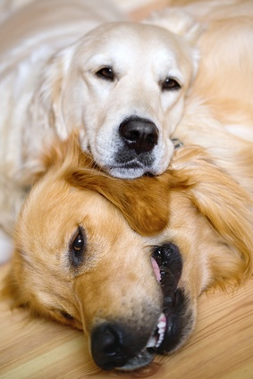zwei-glaenzende-hunde